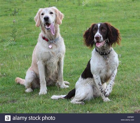 golden retriever springer spaniel springer spaniel and golden retriever pet gundogs friends together stock photo