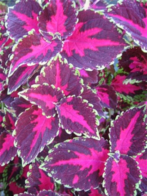 coleus violet tricolor landcraft environments