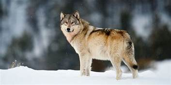 Wolf Wolf Gray Wolf Basic Facts About Gray Wolves Defenders Of