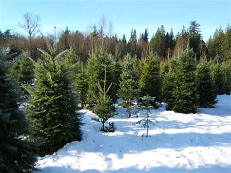 christmas trees bellingham wa 9 places to enjoy the holidays in bellingham washington
