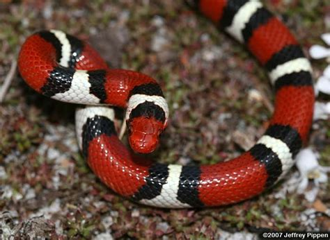 color pattern of coral snake pin by perla cardwell on snakes pinterest