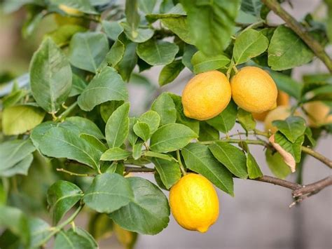 lemon tree diacos garden nursery  garden centre