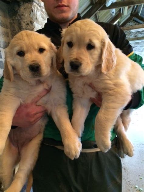 2 year golden retriever for sale golden retriever pups for sale carmarthen carmarthenshire pets4homes