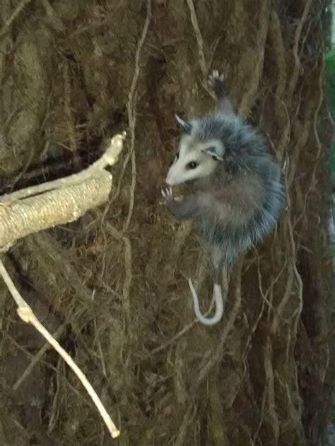 how to get rid of a possum in backyard easy ways to get rid of possums wikihow