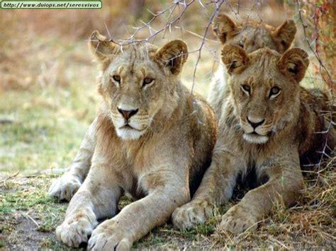 imagenes leones y leonas leonas salvajes y entrenadas no hay mucha diferencia