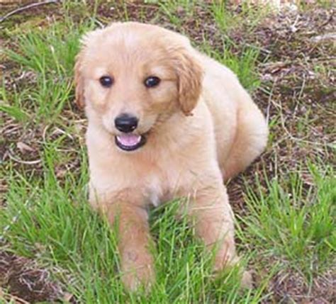 2 month golden retriever golden retriever photos pictures golden retrievers page 2