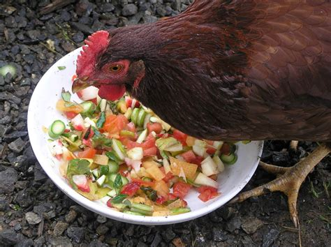 can a eat chicken herbal and critter forage for healthy chickens the wolf college