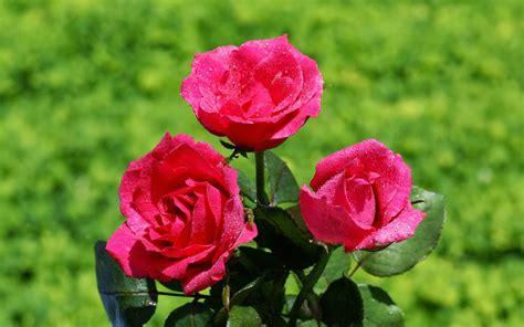 imagenes de rosas reales rosas para todos en movimiento d 237 a del amor y la amistad