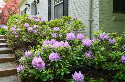 rhododendron hecke zone five and a half how or when to trim rhododendrons