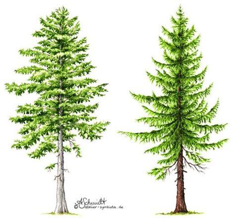 Fichte Vs Kiefer by Tanne Und Fichte Fir And Spruce Nature Tattoos