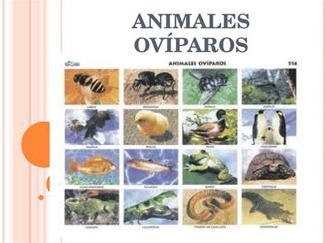 imagenes de animales viviparos y oviparos calam 233 o animales ov 237 paros