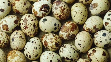 Telur Puyuh Dan Puyuh Manfaat Telur Puyuh Dan Kandungannya