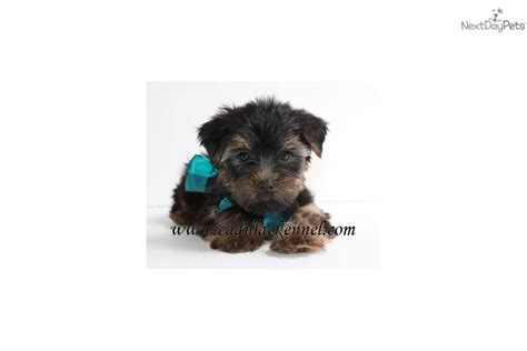 yorkie terriers for free akc teacup yorkies free puppies to homes breeds picture