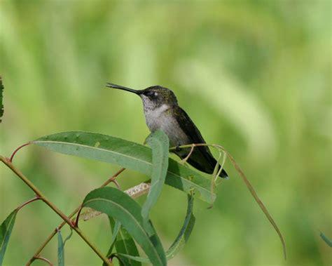 mating habits of hummingbirds ruby throated hummingbird archilochus colubris wildlife journal junior