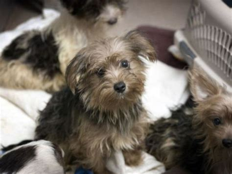 yorkie hoarding poway yorkie hoarding poway sentenced to probation poway ca patch