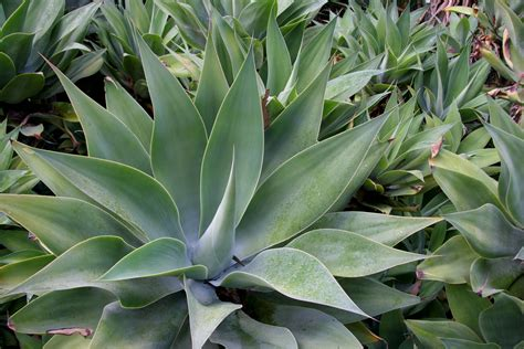 file flickr brewbooks agave attenuata 2 jpg