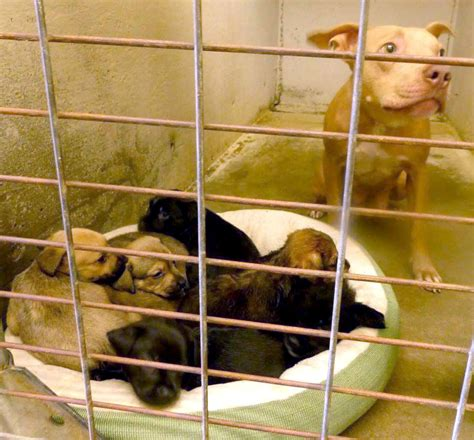 rescue nebraska nebraska rescue helping to save pit bull and 7 puppies from euthanasia in tx