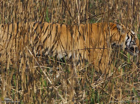 Tiger Camo the astute photo essay amazing camouflage in nature