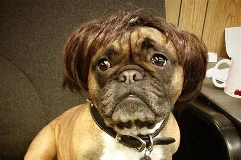 dogs  wigs