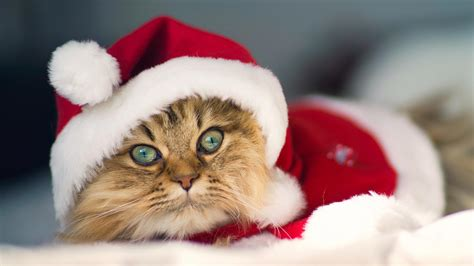 images of christmas cats christmas cat pictures wallpapers9