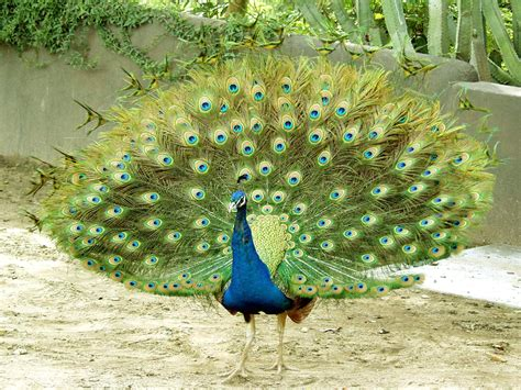 peacocks plymouth top 28 most beautiful and sweet peacock wallpapers in hd