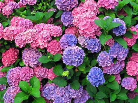 how to grow hydrangeas plant instructions