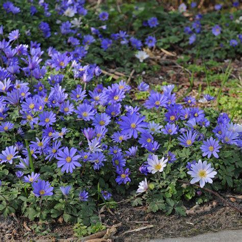 anemone blanda anemone blanda blue shades specialty bulbs