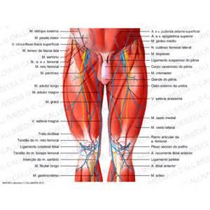 hanche cuisse genou vue ant 233 rieure muscles