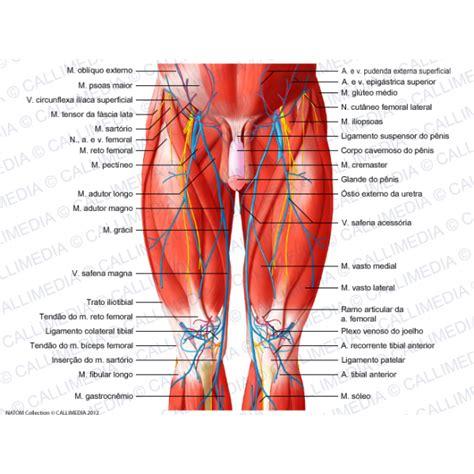 rottura vasi sanguigni anca coscia ginocchio vista anteriore muscoli vasi