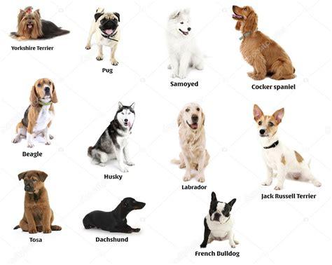 different races of dogs diff 233 rentes races de chiens photographie belchonock