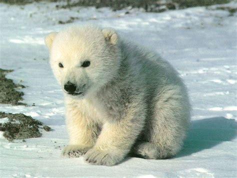 ice bear wallpaper gallery