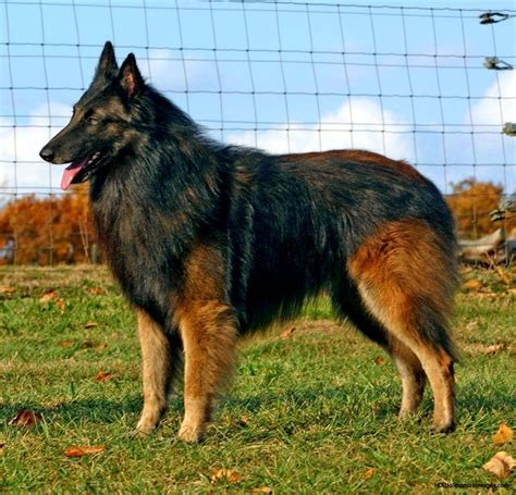 belgian shepherd 42 best images about belgian tervuren on sheep dogs show and photo pic