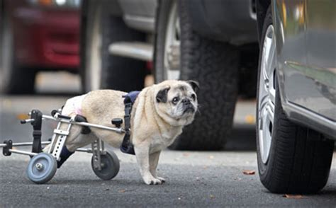pug in a wheelchair it s a pug in a wheelchair and you simply to see it