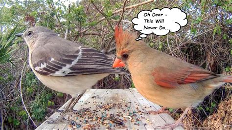 mockingbird poops on cardinal s food youtube