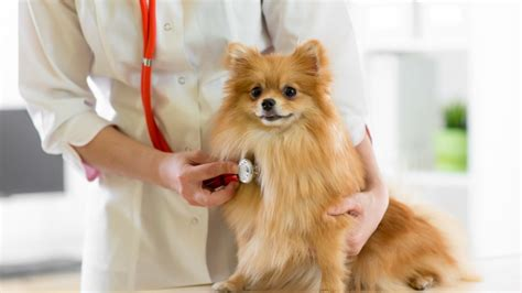 symptoms of congestive failure in dogs congestive failure in dogs symptoms treatment and prognosis