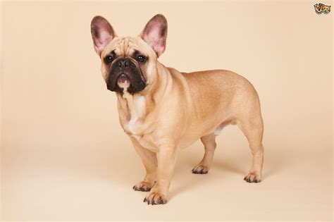 breeds and information bulldog breed information buying advice