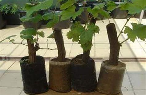 Bibit Anggur Batang 12 tips budidaya menanam anggur dari biji stek batang