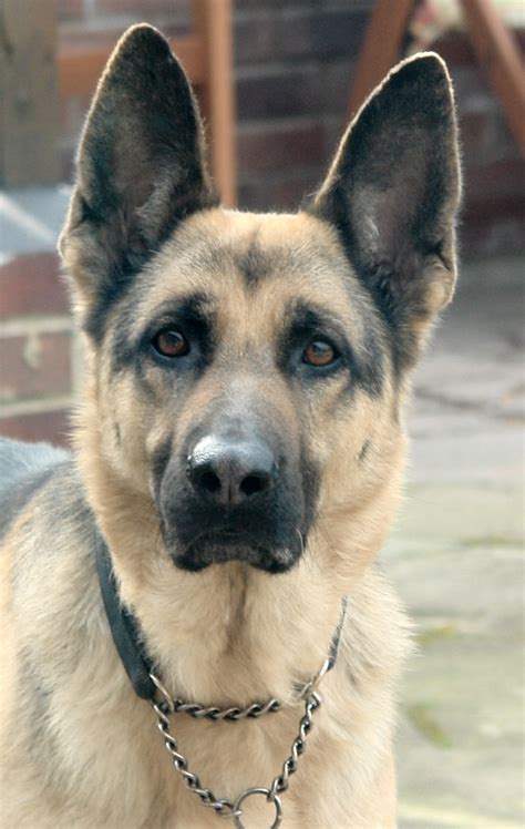 german shepherd german shepherd c the web s best german shepherd resource