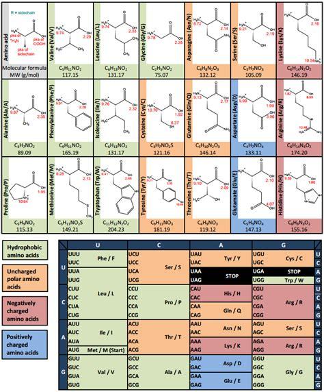 amino acid codon table amino acid codon table in pdf