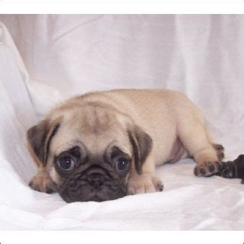 baby pugs for sale in florida 10 best ideas about pugs for sale on pug