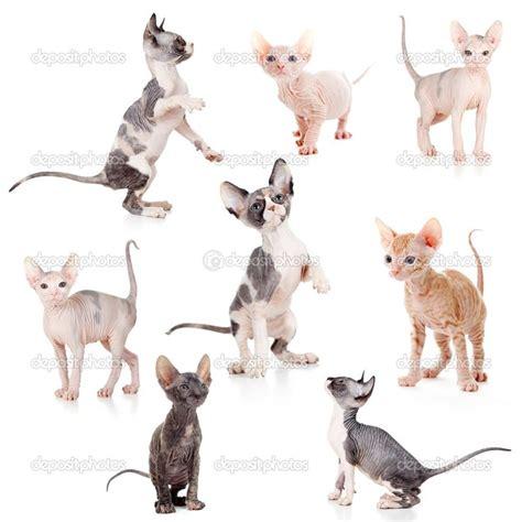 sphynx stock photos sphynx stock hairless canadian and don sphynx kittens set stock photo