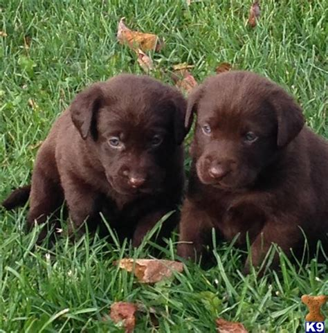 chocolate lab puppies for sale in mn labrador retriever puppies for sale in minnesota