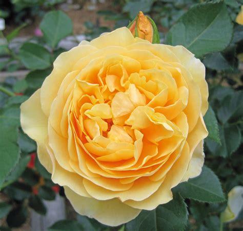 the rose graham thomas rose the rose journal
