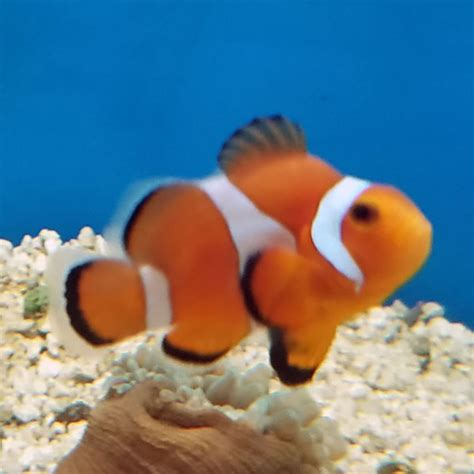 stubby ocellaris clownfish amphiprion ocellaris