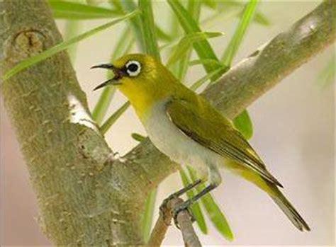 Tempat Pakan Burung Pleci cara perawatan burung pleci kacamata yang baik budidaya