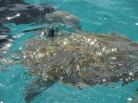 catamaran trips barbados swimming with the turtles picture of barbados excursions