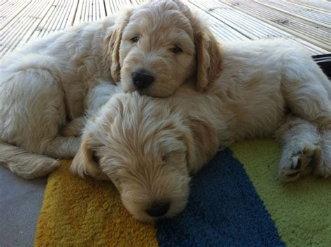 puppy labradoodles for sale in uk labradoodle puppies for sale weymouth dorset pets4homes
