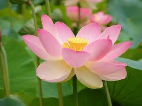 Photos Of Lotus Flowers Lotus On Lotus Flowers Lotus Flower Tattoos