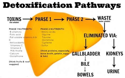 Vegetarian Detox Symptoms by Detoxification Benefits Weight Loss Beliteweight