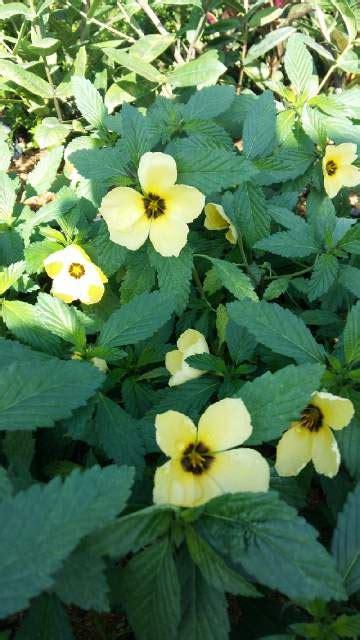 Tanaman Hias Kuning tanaman viola lokal kuning jual tanaman hias
